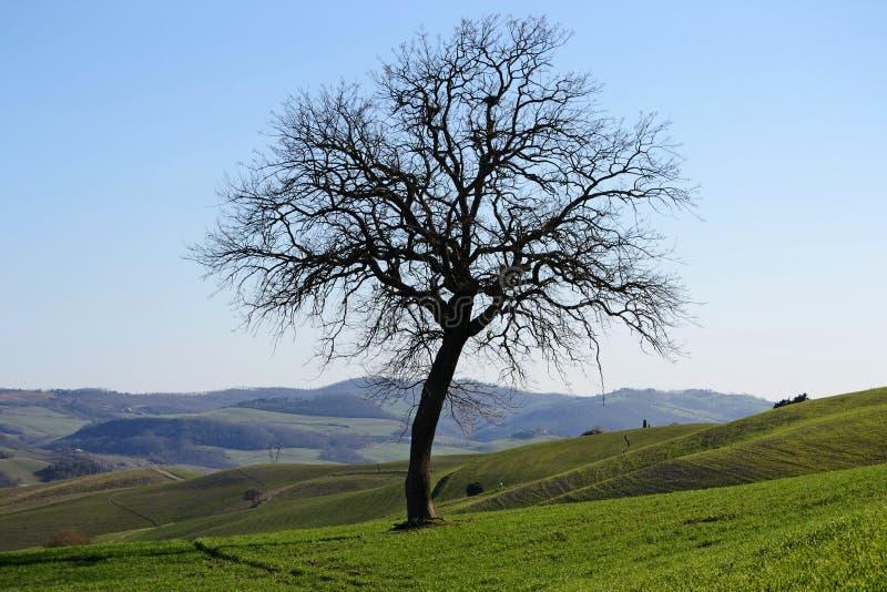 Vista esc?nica del ?rbol desnudo en las colinas verdes en campo toscano imagen de archivo libre de regalías