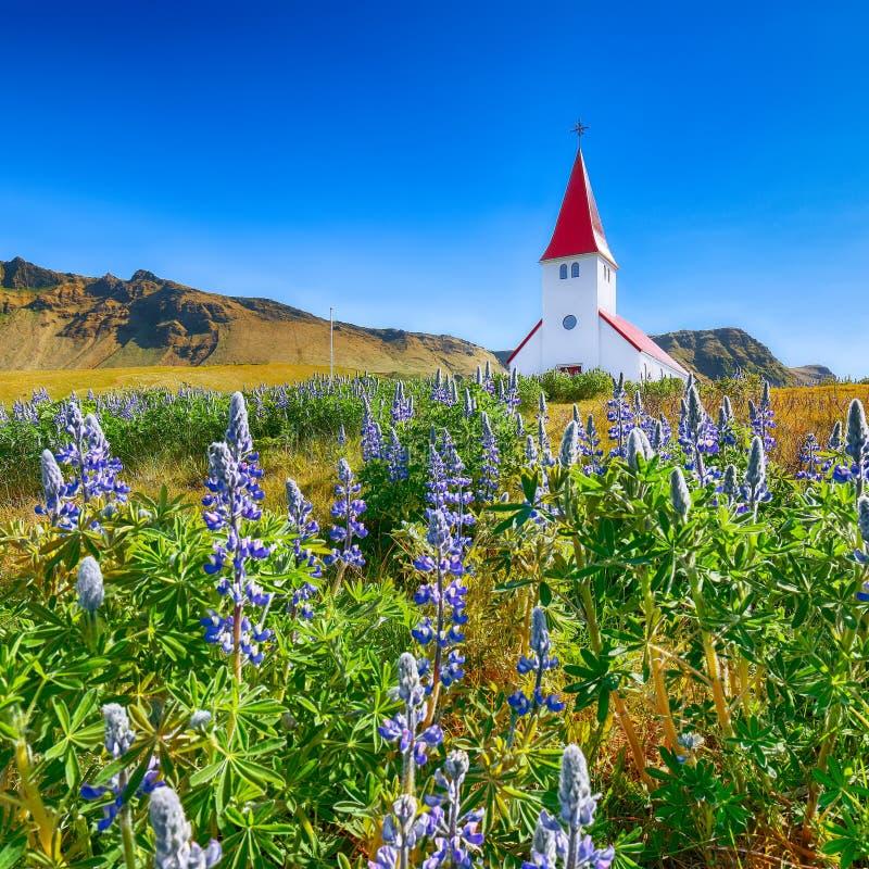 Vista esplêndida da igreja cristã de Vikurkirkja em flores lupine de florescência fotografia de stock