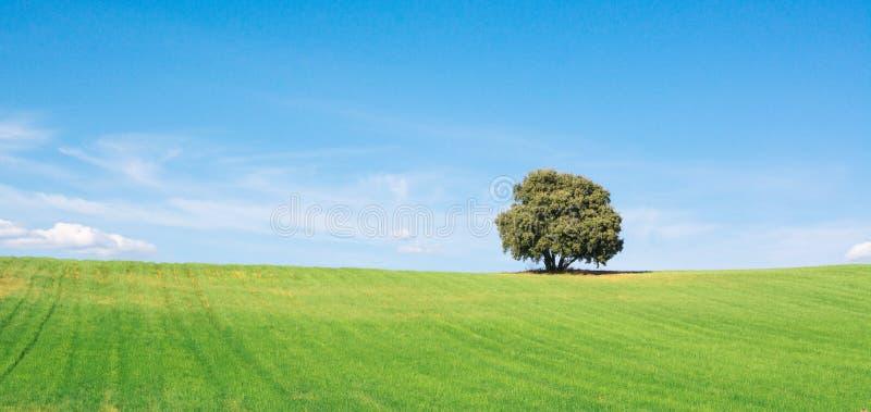 Vista fantastica della quercia del leccio isolata su un giacimento di grano verde, sotto un cielo blu pulito fotografie stock