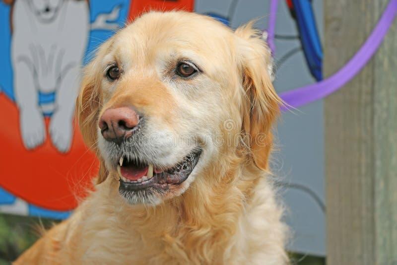Vista feliz do cão do golden retriever foto de stock royalty free