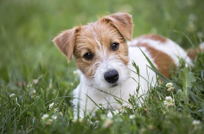 Vista feliz do cachorrinho do cão de estimação do terrier de Jack Russell foto de stock