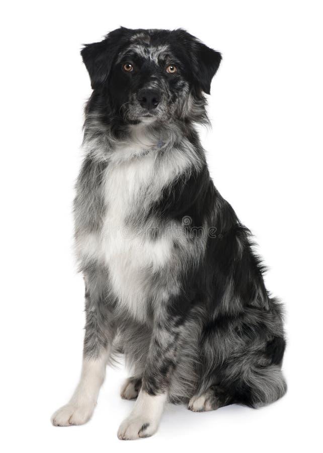 Vista frontale del cane di pastore australiano, sedentesi fotografia stock