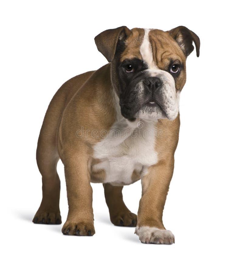 Vista frontale del cucciolo inglese del bulldog, levantesi in piedi fotografia stock