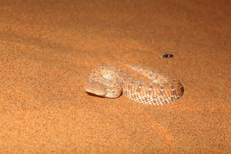 Vista frontale del serpente del Sidewinder fotografie stock libere da diritti