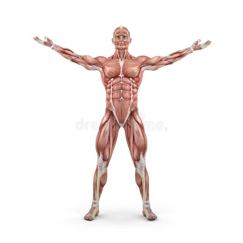 Vista frontale del sistema muscolare illustrazione di stock