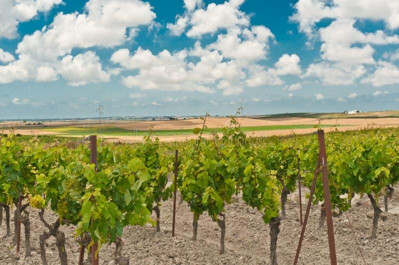 Vista frontale delle viti ad una vigna della terza generazione in Spagna fotografia stock libera da diritti