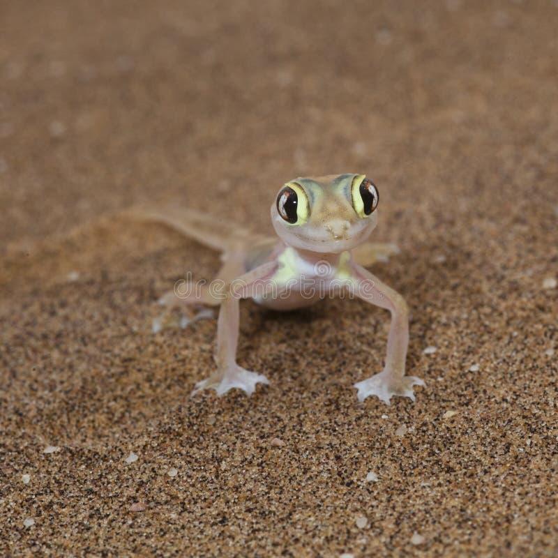 Vista frontale di Palmato della lucertola sveglia del gecko fotografia stock libera da diritti