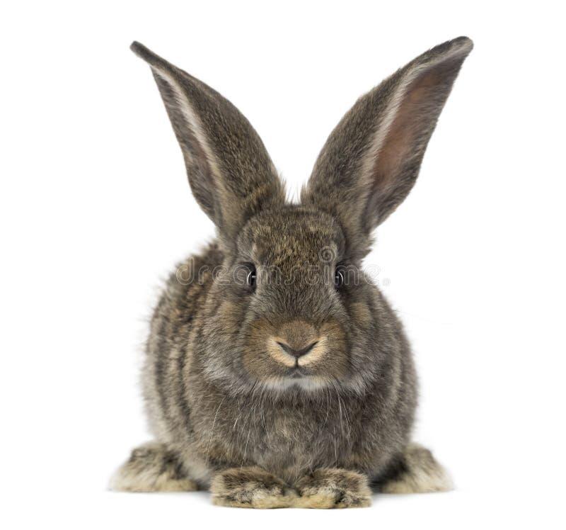 Vista frontale di un coniglio, isolata su bianco immagine stock libera da diritti