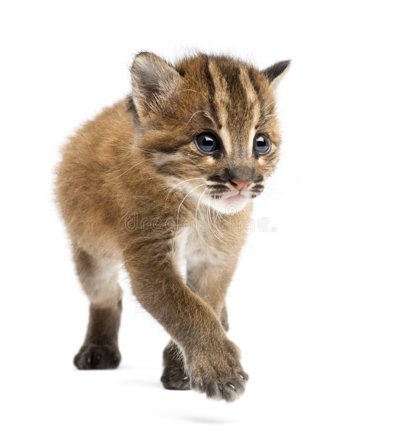 Vista frontale di un gatto dorato asiatico che cammina, temminckii di Pardofelis immagini stock libere da diritti