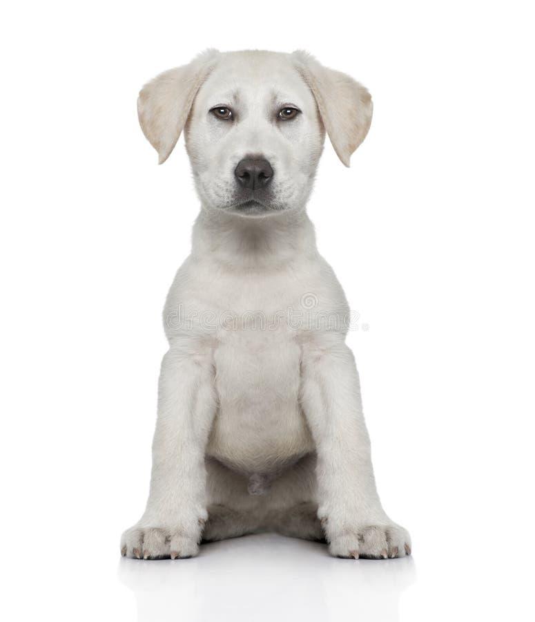 Vista frontale di un potenziamento di Digital del cucciolo di labrador immagine stock