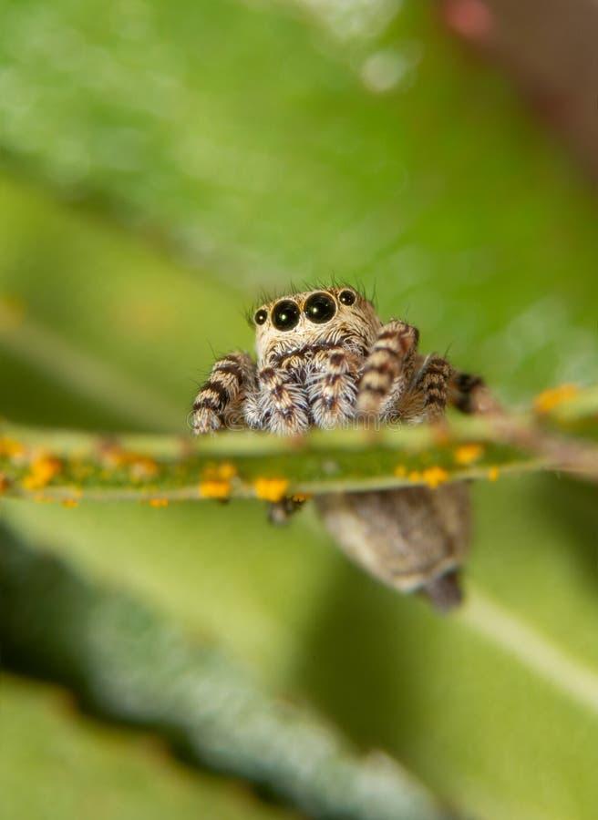 Vista frontale di un saltatore peperone minuscolo, ragno di galathea di Pelegrina fotografia stock libera da diritti