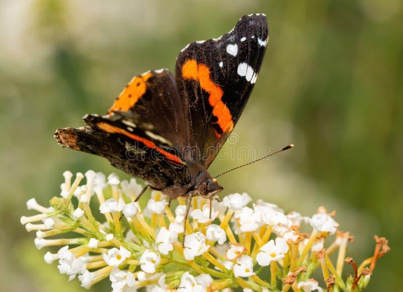 Vista frontale di una farfalla di ammiraglio rosso che si alimenta i fiori bianchi immagine stock