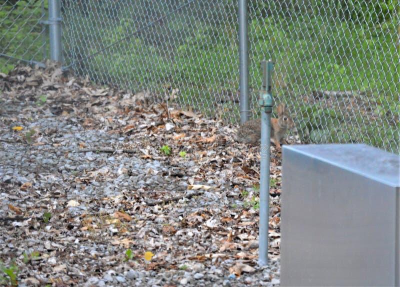 Vista frontale laterale di un coniglio dal lato di un recinto del collegamento a catena immagini stock libere da diritti