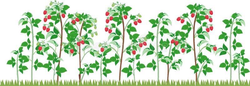 Vista general del grupo de plantas fructíferas de la frambuesa con las bayas rojas maduras y de follaje verde en jardín ilustración del vector