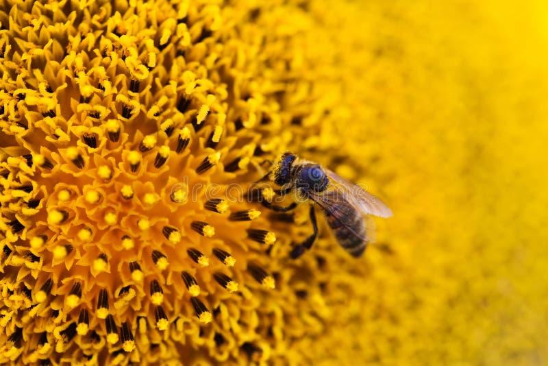 Vista gialla di macro dell'ape del girasole scena della natura di estate Profondità del campo poco profonda immagine stock libera da diritti