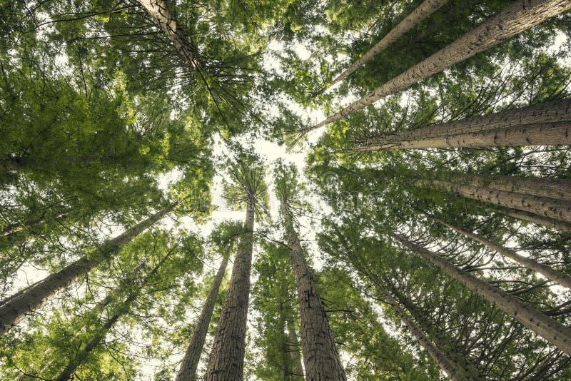 Vista gigante della foresta della sequoia da sotto immagini stock libere da diritti