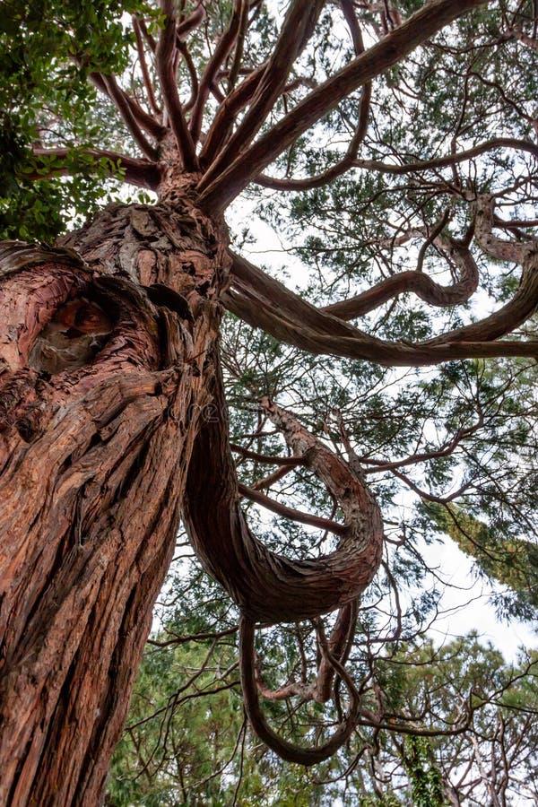 Vista inferior da árvore de Krummholz imagens de stock royalty free
