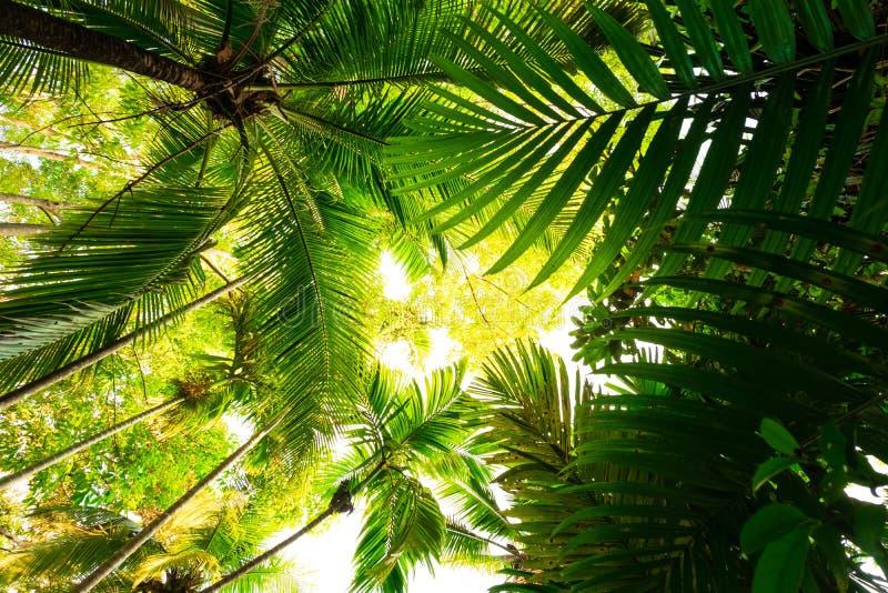 a vista inferior da árvore e da folha do ramo lá está iluminando as folhas superiores batidas concep da floresta e do ambiente foto de stock royalty free