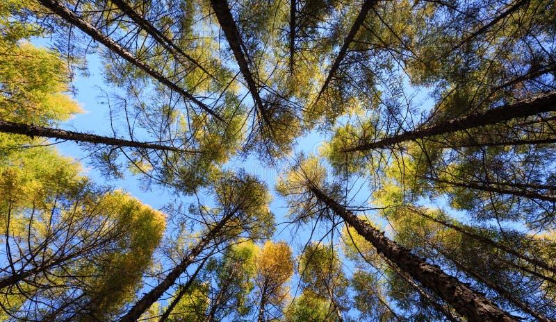 Vista inferior da floresta alta do pinho no céu foto de stock