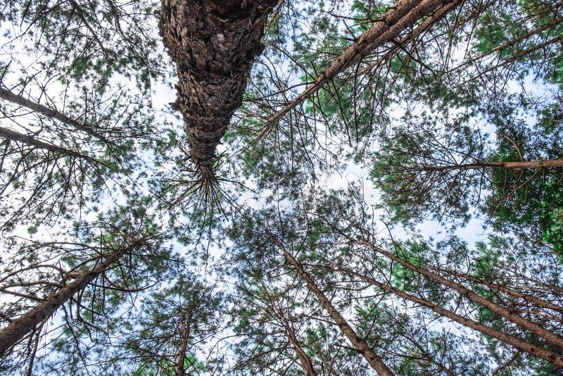 Vista inferior de pinheiros selvagens fotografia de stock royalty free