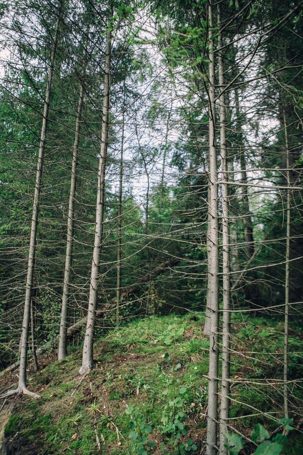 Vista inferior do monte com uma floresta do pinho e um céu sem nuvens azul imagens de stock royalty free