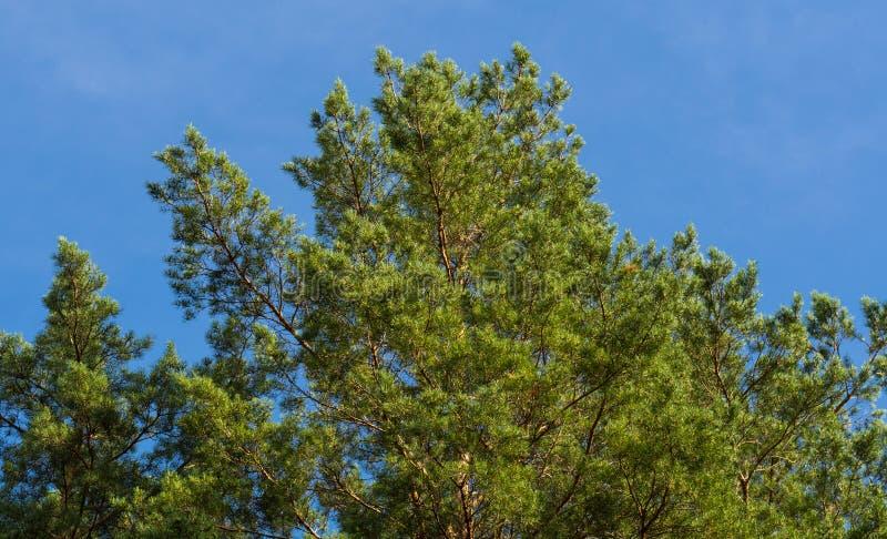 Vista inferior nas coroas do pinho e no céu azul imagens de stock royalty free