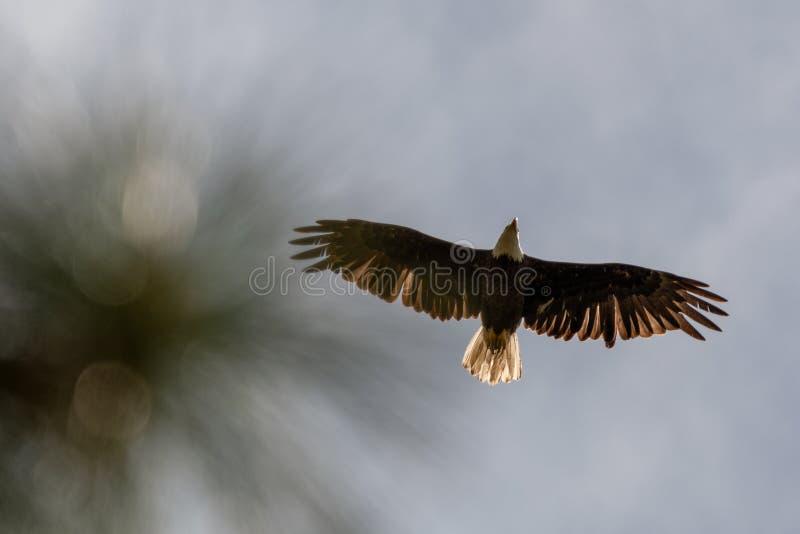 Vista insolita diritto sul punto di vista dell'aquila calva americana in volo immagini stock