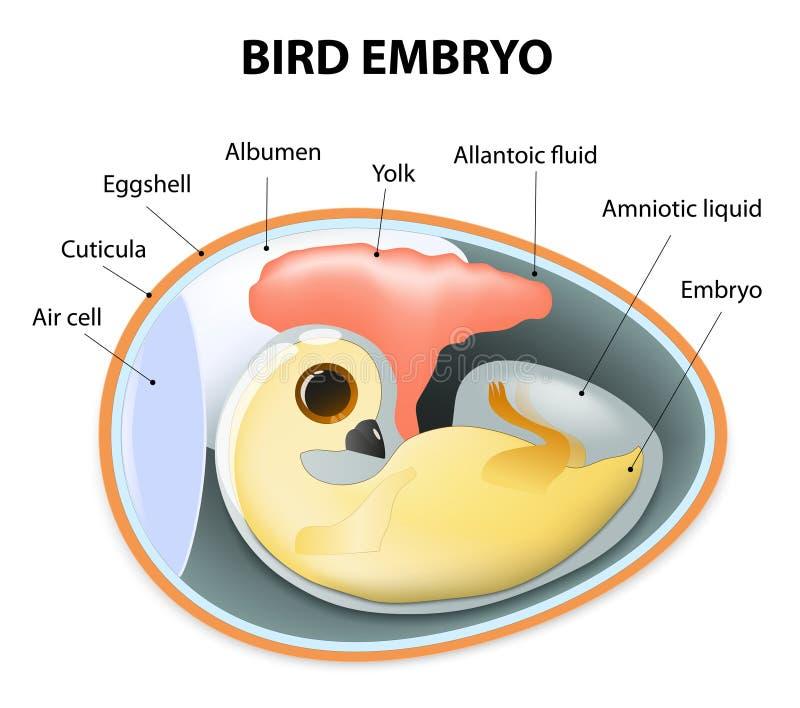 Vista interior de un huevo de los pájaros libre illustration