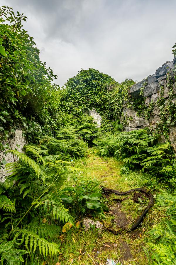 Vista interna di una casa medievale rovinata coperta di piante nel Burren fotografia stock