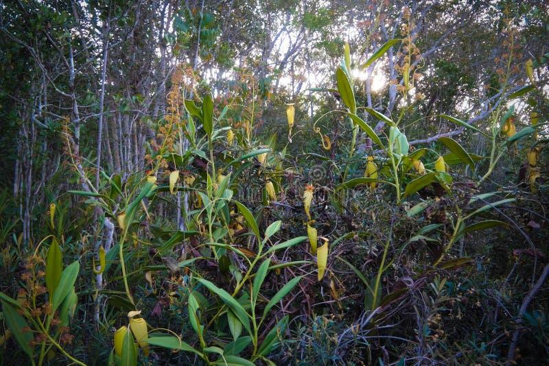 Vista a la planta de jarra del Nepenthes, regi?n de Atsinanana, Madagascar foto de archivo