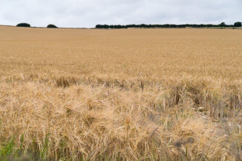 Vista larga sobre um campo com as orelhas maduras do trigo contra o céu azul com nuvens fotografia de stock royalty free