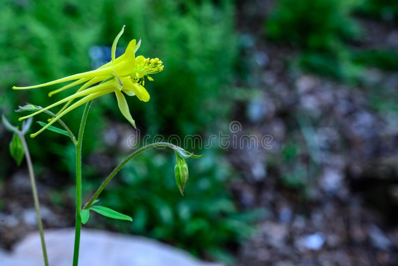 Vista lateral ascendente próxima de uma flor em botão aquilégia amarela fresca imagens de stock