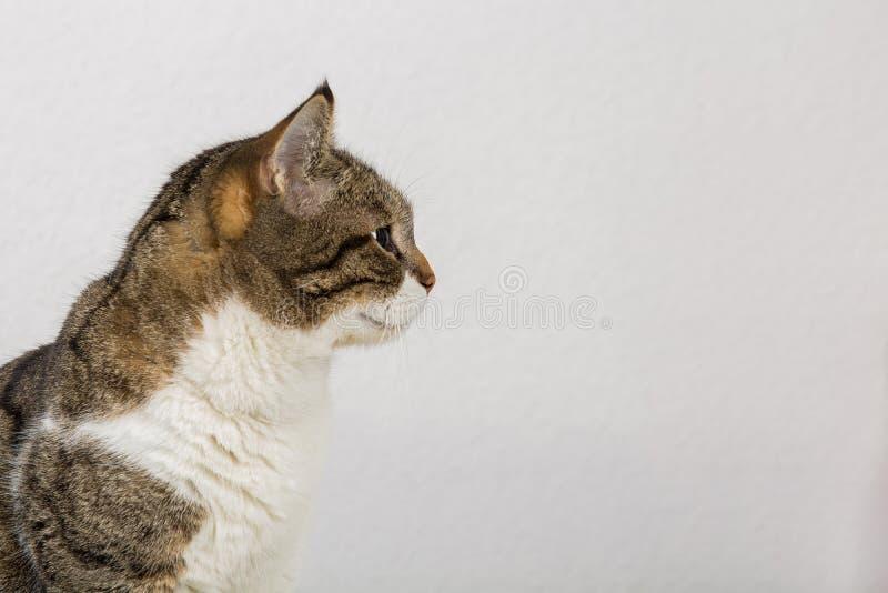 Vista lateral cerrar el retrato de perfil de curioso gato rayado curioso que se ve atento aislado sobre fondo gris de la pared co foto de archivo