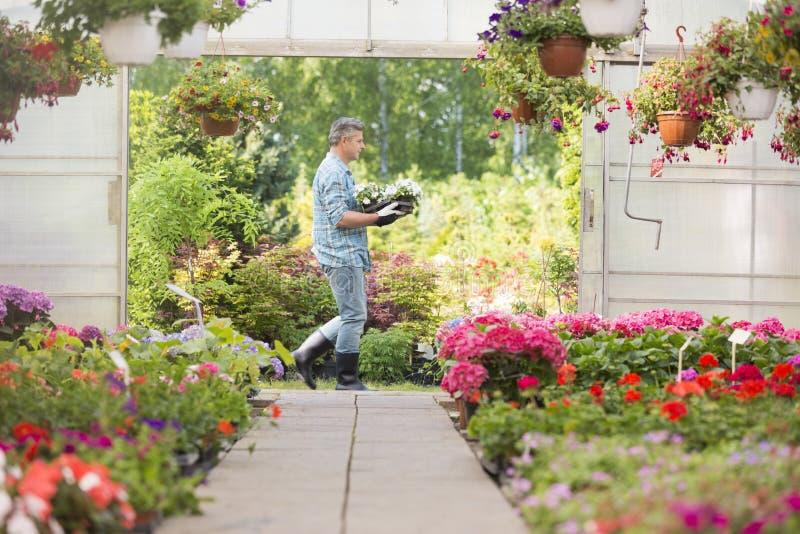 Vista lateral da caixa levando do jardineiro com potenciômetros de flor ao andar fora da estufa imagem de stock