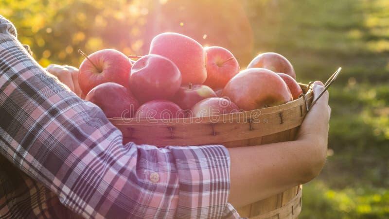 Vista lateral da cesta da posse do fazendeiro com as maçãs vermelhas suculentas fotos de stock