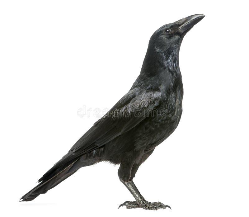 Vista lateral de Carrion Crow que mira para arriba, corone del Corvus, aislado imagen de archivo libre de regalías