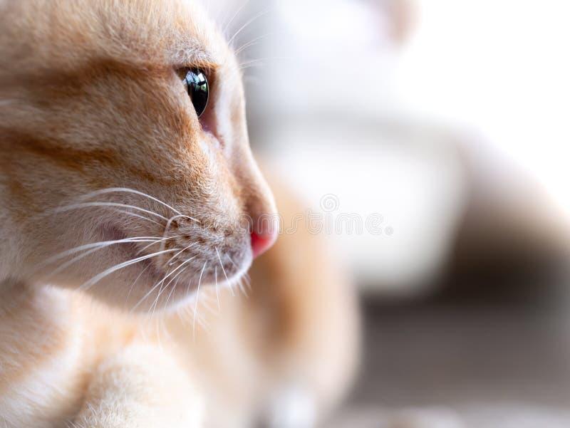 Vista lateral de Cat Lying blanca rayada amarilla foto de archivo