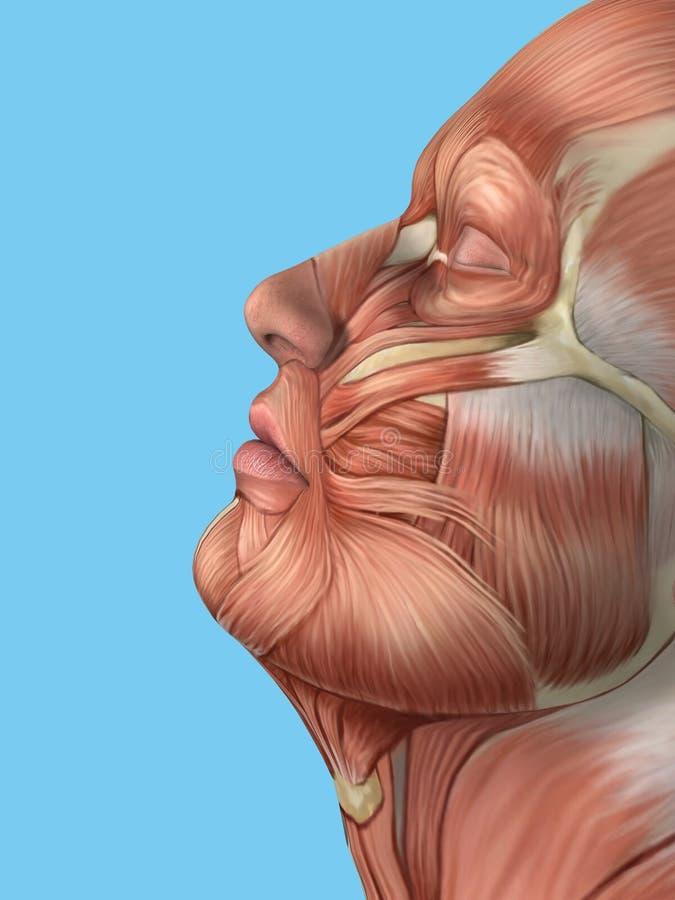 Vista lateral de la anatomía de los músculos de la cara ilustración del vector