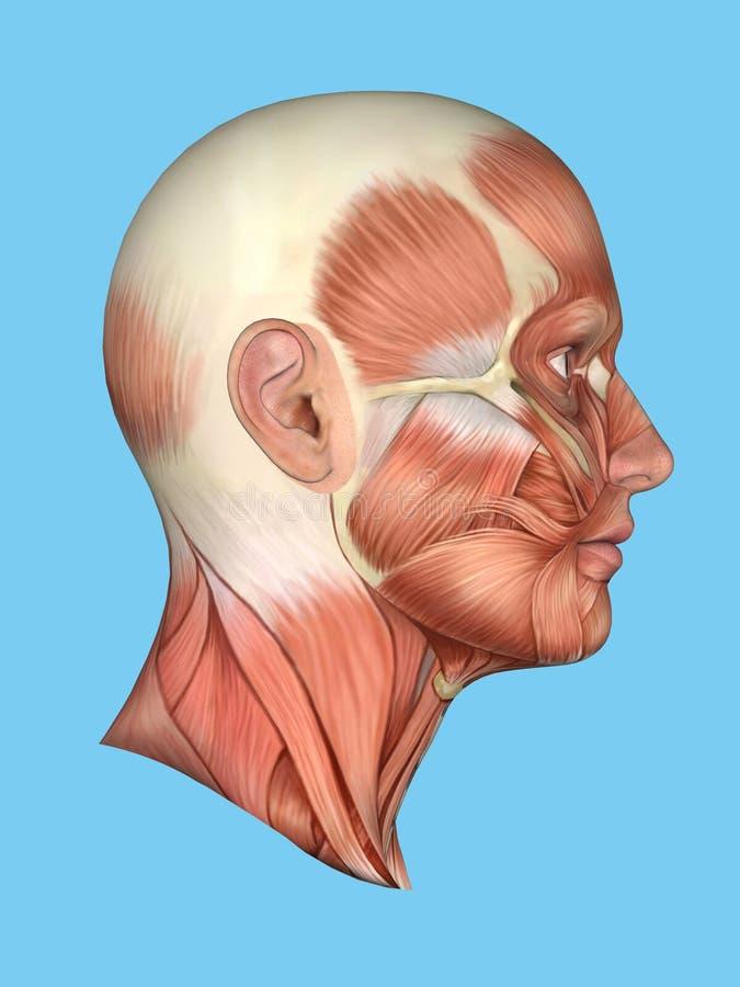 Vista Lateral De La Anatomía De Los Músculos Importantes De La Cara ...