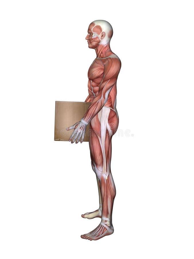 Vista lateral de la anatomía masculina del músculo y de la caja el sostenerse libre illustration