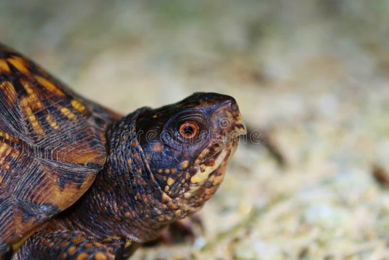Vista lateral de la cabeza de la tortuga de caja del este masculina imagenes de archivo