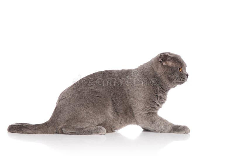 Vista lateral de la mentira scotish gris linda del gato del doblez fotos de archivo libres de regalías