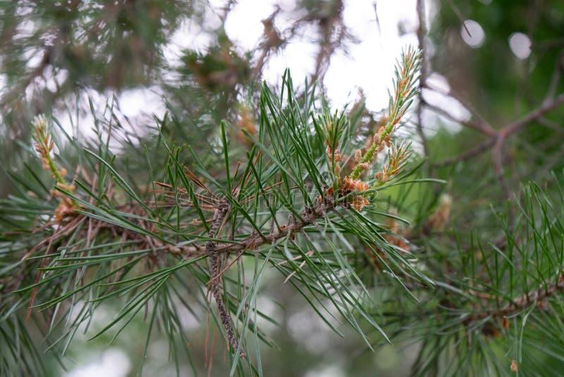 Vista lateral de la rama de árbol de abeto fotografía de archivo