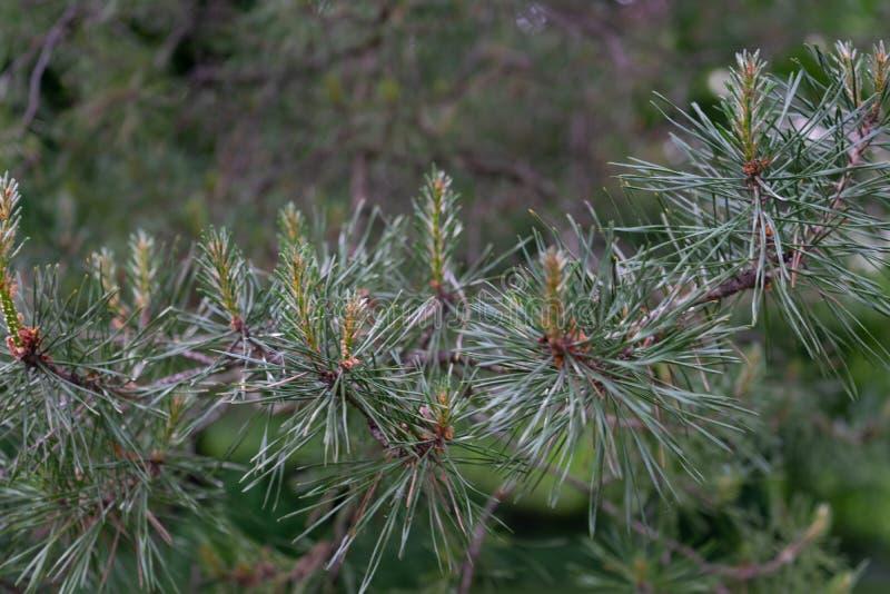 Vista lateral de la rama de árbol de abeto imagen de archivo libre de regalías