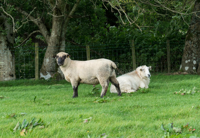 Vista lateral de las ovejas de Shropshire en prado imagenes de archivo