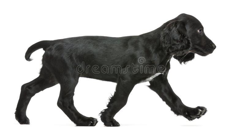 Vista lateral de recorrer de trabajo del perro de aguas de cocker fotos de archivo libres de regalías