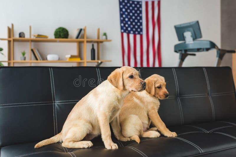 Vista lateral de sentarse beige de dos perritos ilustración del vector