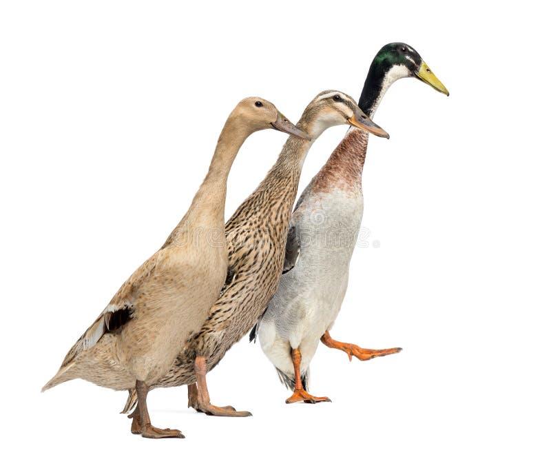 Vista lateral de tres patos en una raza, aislada imagenes de archivo