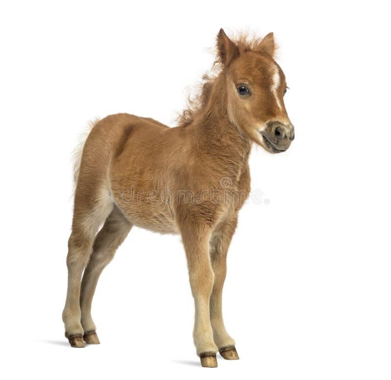 Vista lateral de um poney, potro contra o fundo branco fotos de stock