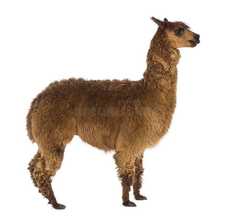 Vista lateral de uma alpaca contra o fundo branco foto de stock royalty free